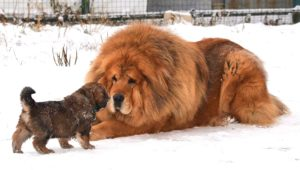 Mengenal Tibetan Mastiff, Ras Anjing Terbesar Dan Termahal Didunia